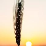 Wheat Field in Ludhiana, India, BISA