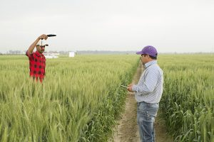 Using Field Book in wheat trials in Ludhiana, India, BISA