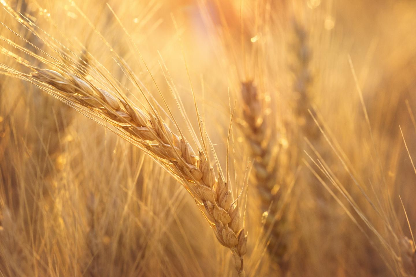 Wheat code finally cracked; wheat genome sequence will bring stronger varieties to farmers